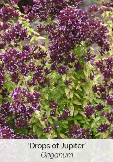 drops of Jupiter origanum