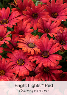 bright lights red osteospermum