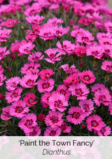 paint the town fancy dianthus