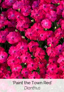 paint the town red dianthus