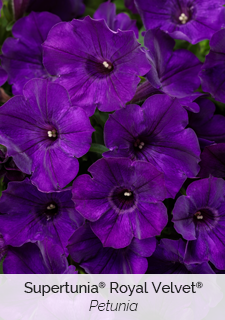 supertunia royal velvet petunia