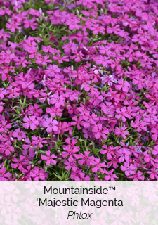 mountainside majestic magenta phlox