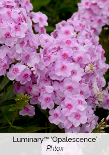 luminary opalescence phlox