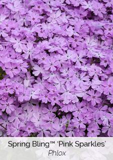 spring bling pink sparkles phlox