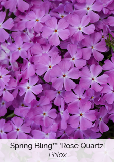 spring bling rose quartz phlox