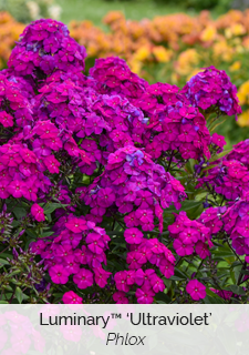 luminary ultraviolet phlox