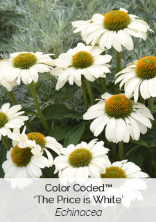 color coded price is white echinacea