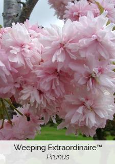 weeping extraordinaire prunus