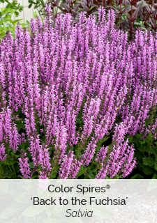color spires back to the fuchsia salvia