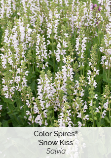 color spires snow kiss salvia