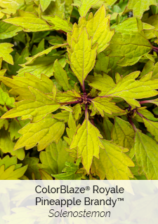 royale pineapple brandy solenostemon