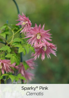 sparky pink clematis
