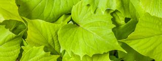 Sweet Caroline green with envy ipomoea