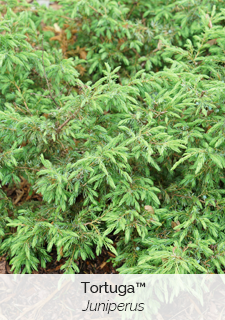 tortuga juniper