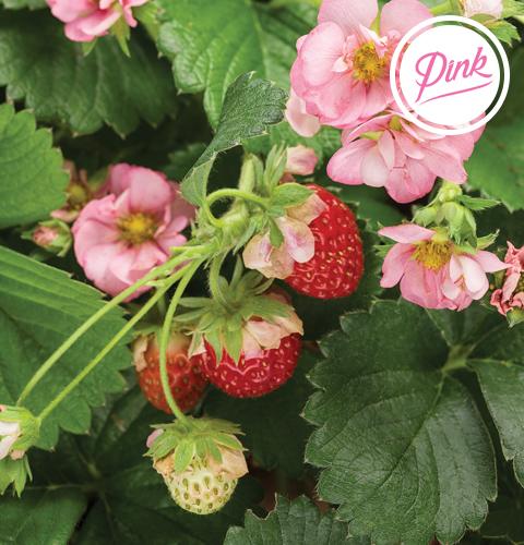 berried treasure pink strawberry