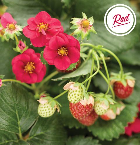 berried treasure red strawberry