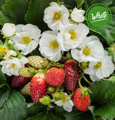 berried treasure white strawberry
