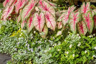 shade caladium garden link