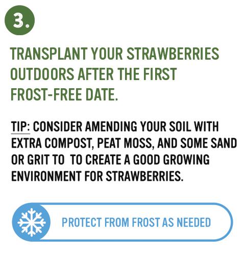 strawberry planting step 3