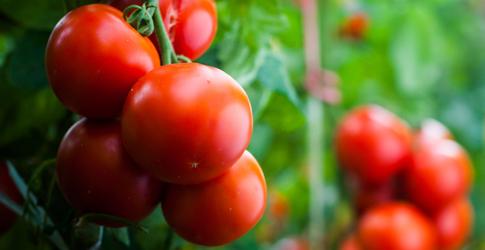 garden treasure tomatoes growing on the vine