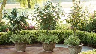 diy grow your own hydrangea